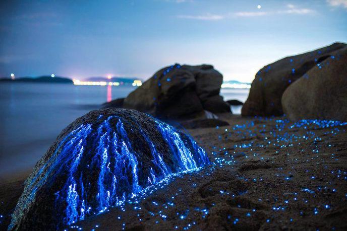 crevette bioluminescente