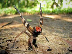 araignée banae