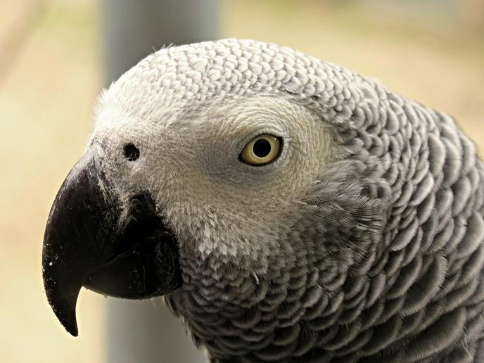 Usa: Un meurtre résolu après l'intervention d'un perroquet