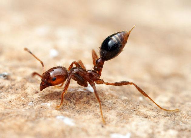 """Résultat de recherche d'images pour """"fourmi balle de fusil"""""""
