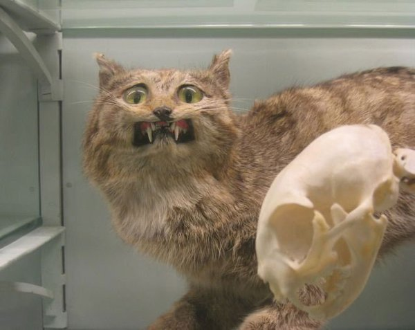 taxidermie chat