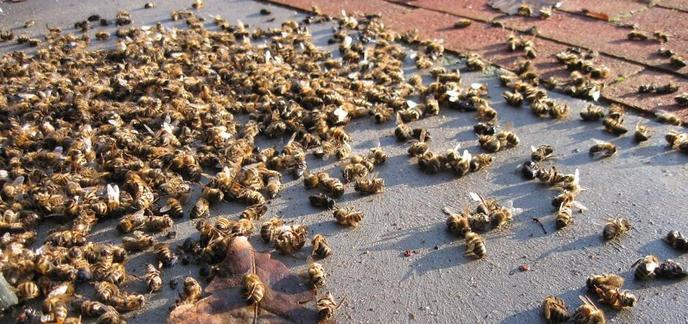Premier de cordée - Page 8 I_abeilles-mortes
