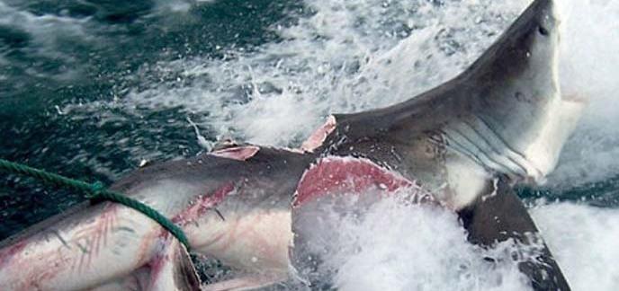 i_shark-bite-shark.jpg