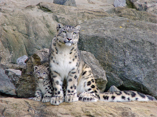 leopard neiges