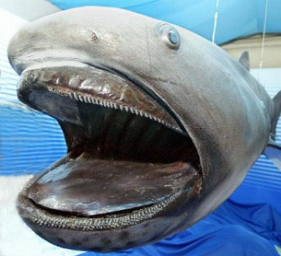 requin grande-gueule